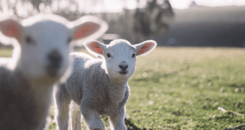 This image shows two baby lambs.