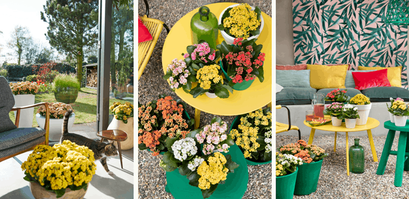 Image of Kalanchoe flowers in pots in an outdoor setting.