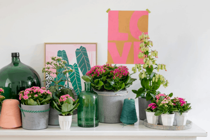 Image of Kalanchoe flowers in pots on sideboard.