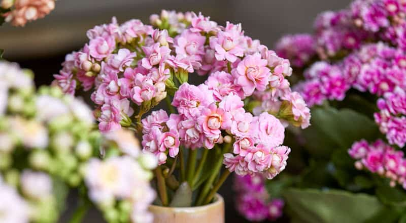 Image Of Pink Kalanchoe Flowers.