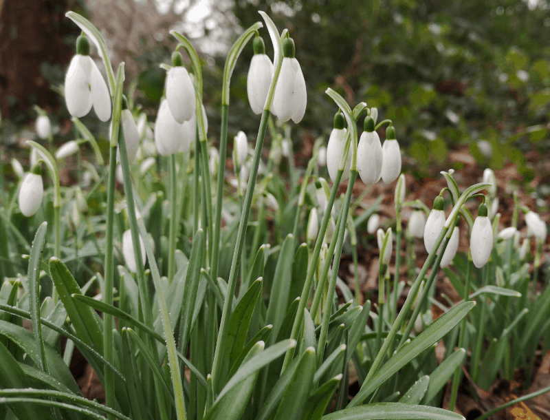 This is an image of Snowdrops.
