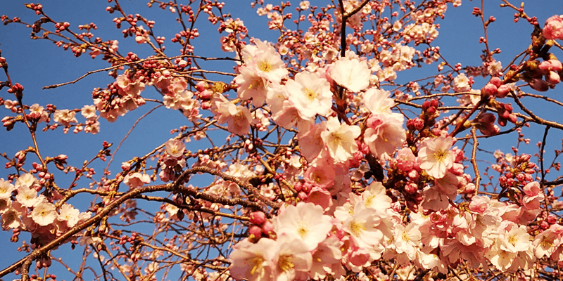 This Is An Image Of A Tree Full Of Pink Blossom.