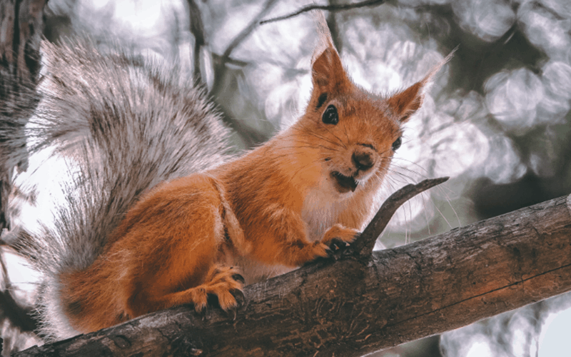 5 Fun Facts About The Colour Red Squirrel Karen Haller